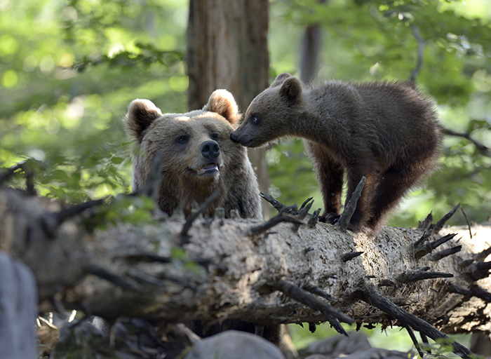 Medved (Ursus arctos) VI - Oton Naglost 2