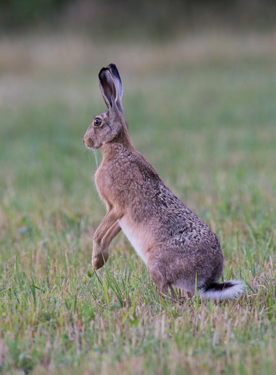 Zajec (Lepus europoeus) VI - Oton Naglost