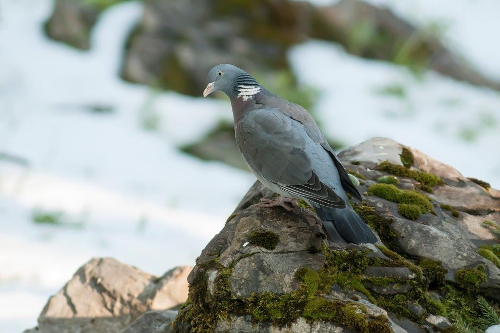 Elo - golob grivar